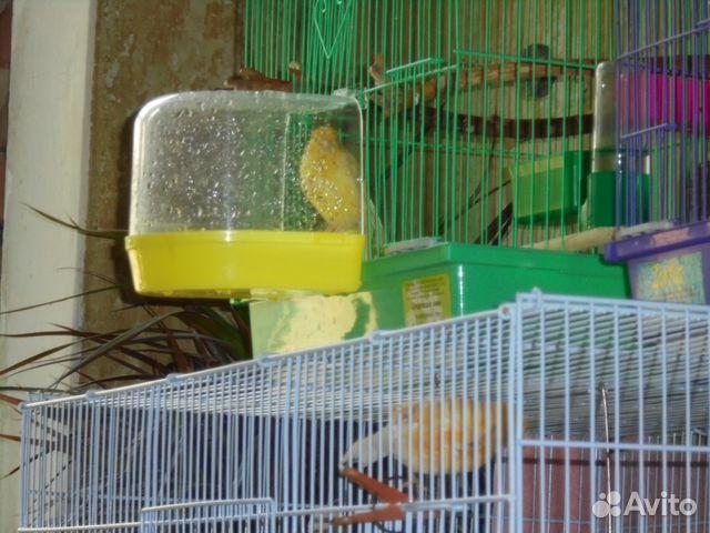 Уход за кенаром в домашних условиях