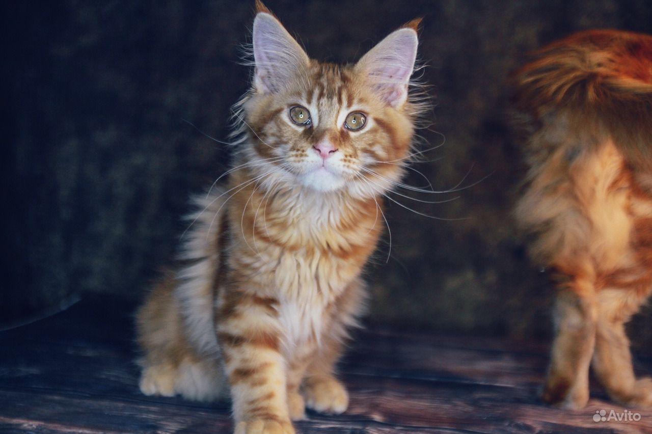 Солнечный котенок мейн-кун в Москве - фотография № 1