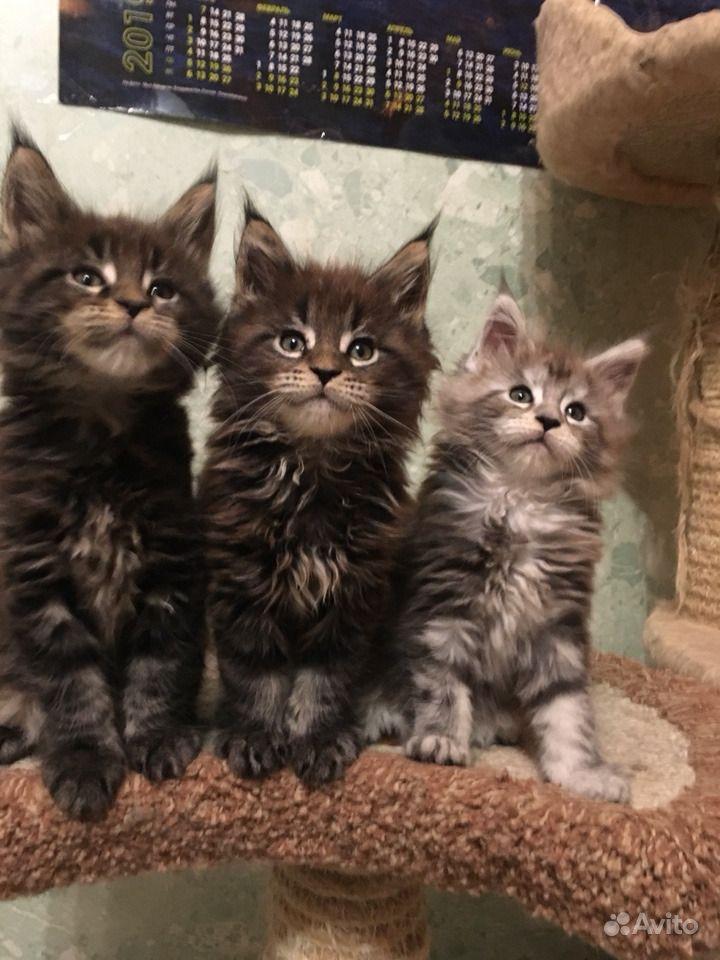 Самые лучшие. Крупные котята Мейн кун в Люберцах - фотография № 4