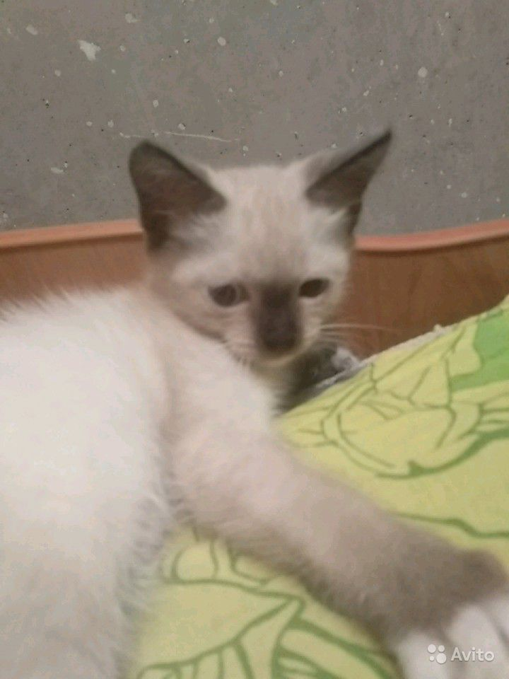 Котята 2 месяца отдадим бесплатно в добрые руки в Барнауле - фотография № 5