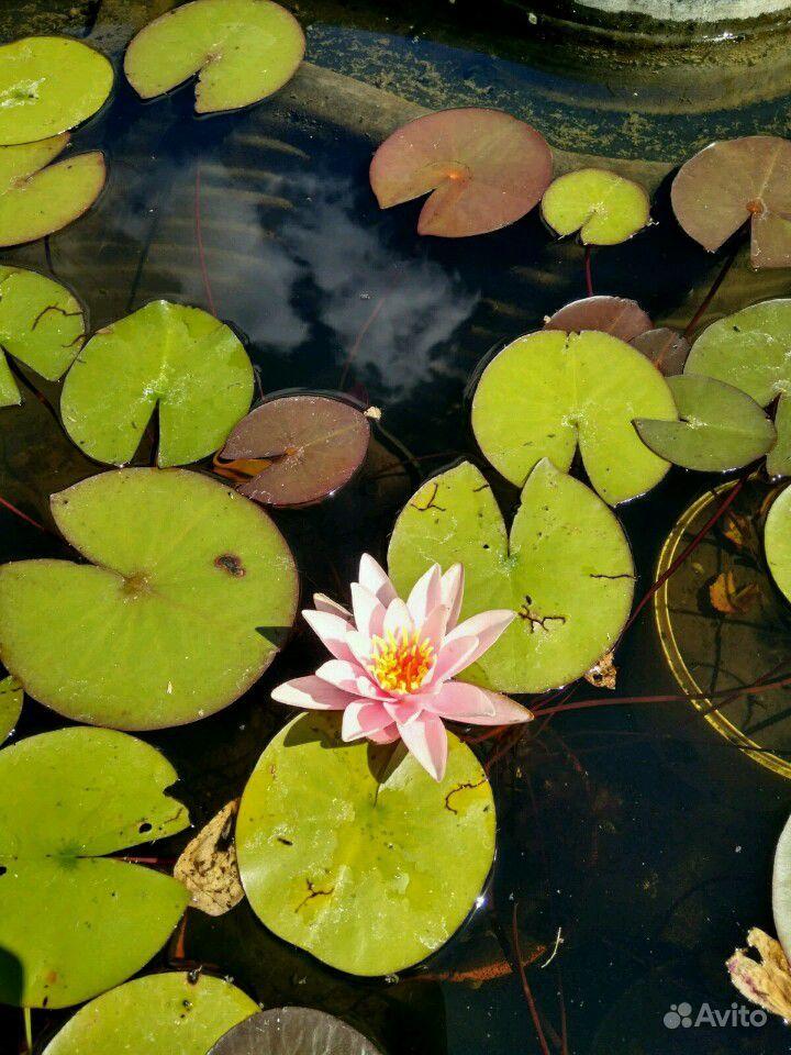 Водяная лилия (нимфея) купить на Зозу.ру - фотография № 1