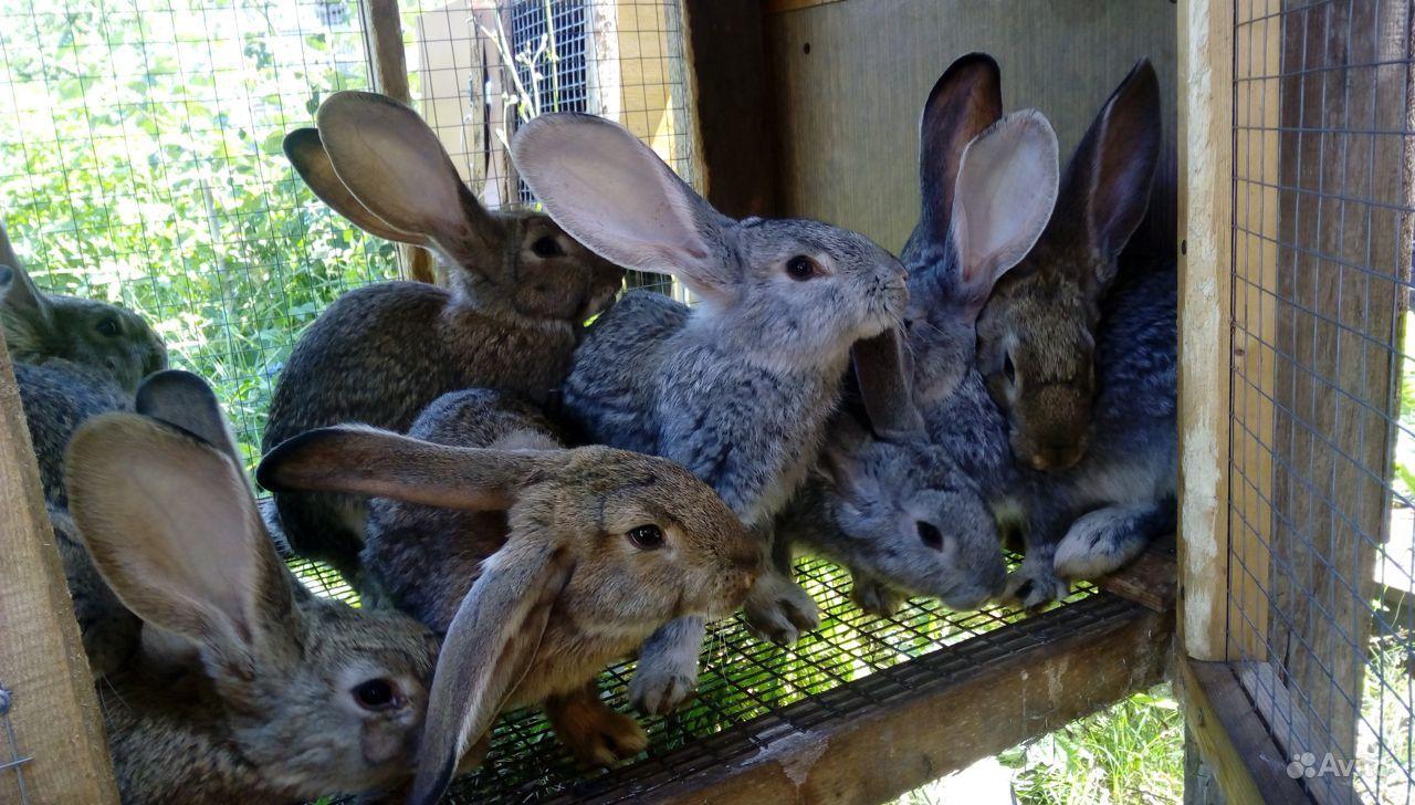 Обменяю крольчат