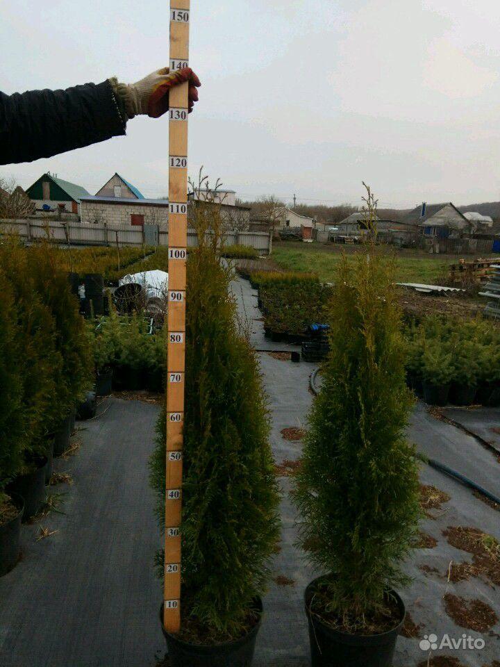 Хвойные растения,Туя (туи,ель,можжевельник) купить на Зозу.ру - фотография № 8
