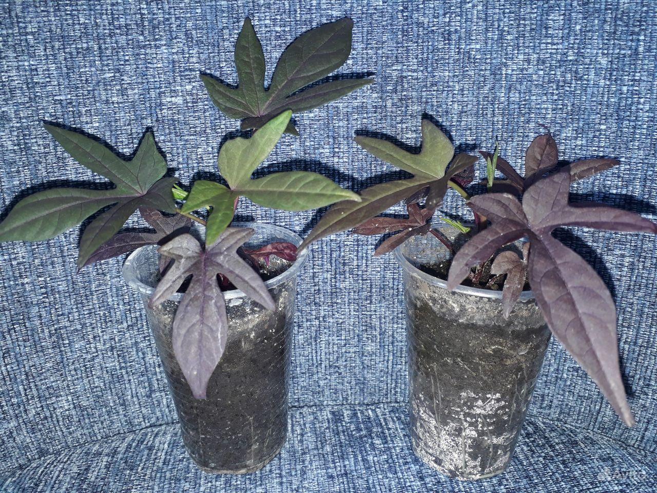 Ипомея батат 3 вида купить на Зозу.ру - фотография № 5