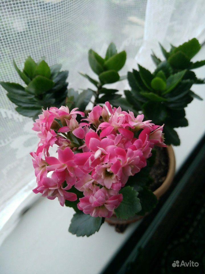 Каланхоэ цветущий купить на Зозу.ру - фотография № 2