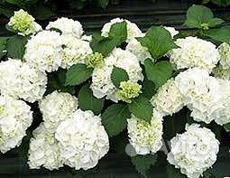 Гортензия белая садовая купить на Зозу.ру - фотография № 1