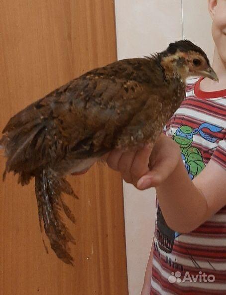 Серебные фазаны, семья фазанов, цыплята Бентамки купить на Зозу.ру - фотография № 2