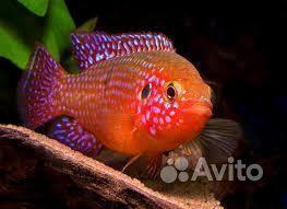 Рыба хромис красавец купить на Зозу.ру - фотография № 1