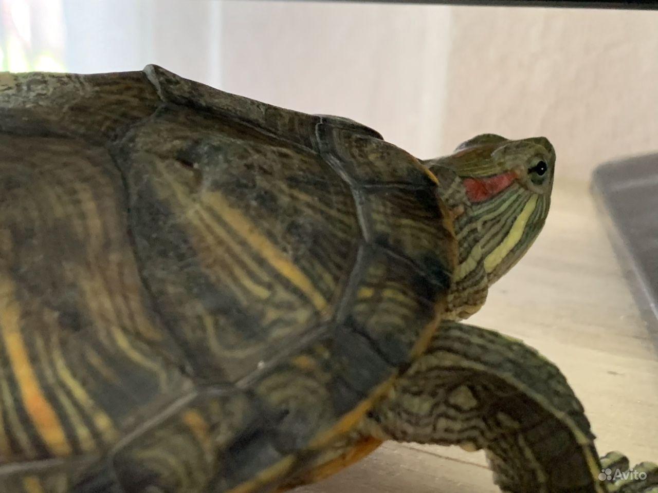 Красноухая черепаха купить на Зозу.ру - фотография № 5