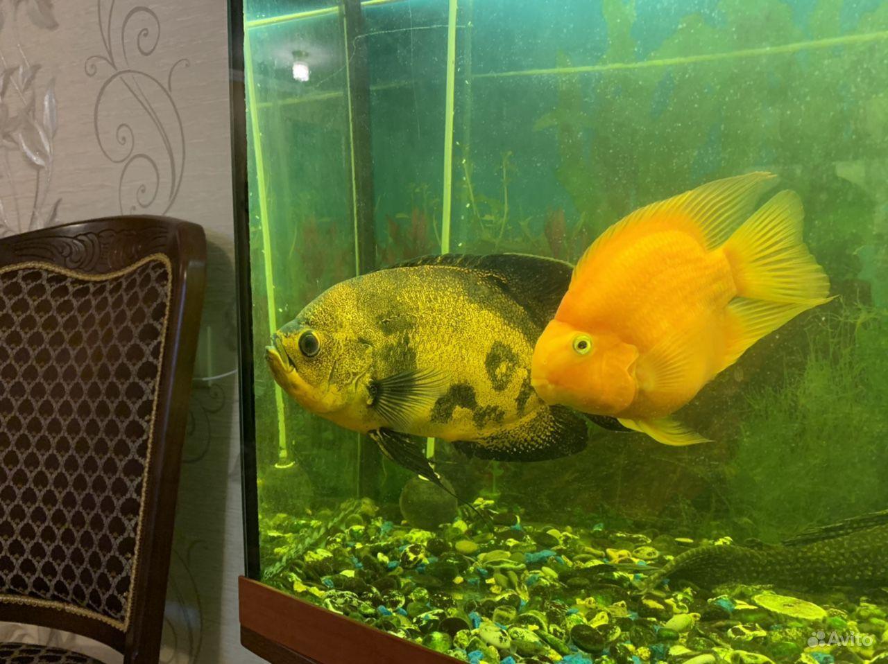 Рыба попугай купить на Зозу.ру - фотография № 3