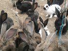 Кролики ризены,фландры,строкачи