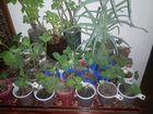 Саженцы земляники, корни смородины, малины