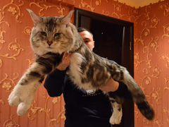 Скачать котятам мейн кун в добрые руки на авито