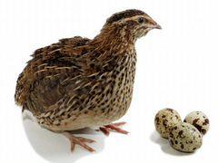 Мясо перепелки и яйца