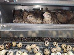 Перепела, инкубационное яйцо, тушки