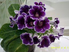 Глоксиния.Комнатные цветы и декоративная трава