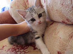 Котята от шотландской мамы