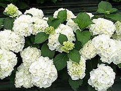 Гортензия белая садовая