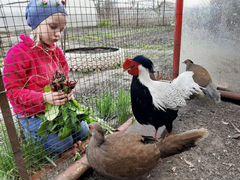 Серебные фазаны, семья фазанов, цыплята Бентамки