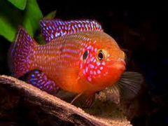 Рыба хромис красавец