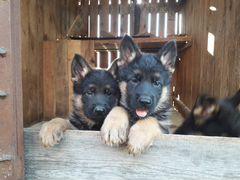 Породные щенки немецкой овчарки