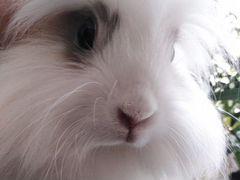 Кролик декоративный домашний