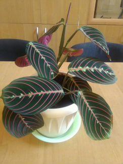 Цветы - Маранта, традесканция объявление продам