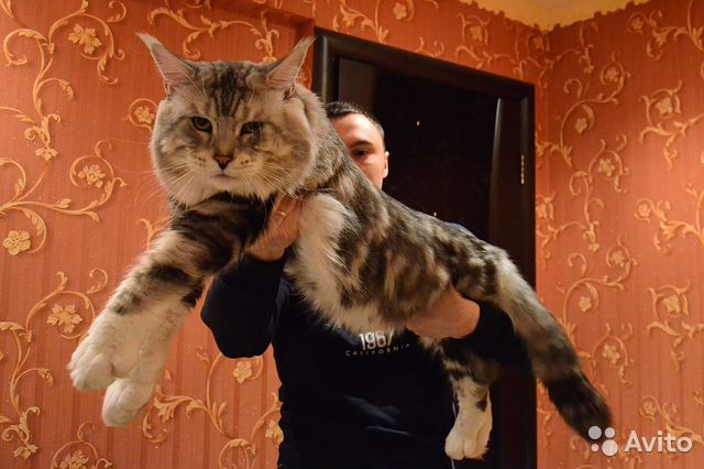 Продажа котят породы мейн кун