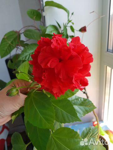 Гибискус махровый, китайская роза 89133888500 купить 1