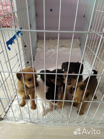Valpen är en korsning mellan en Yorkshire Terrier