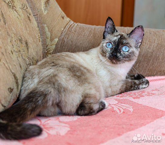 89137249811  Кошка Джина с васильковыми глазам