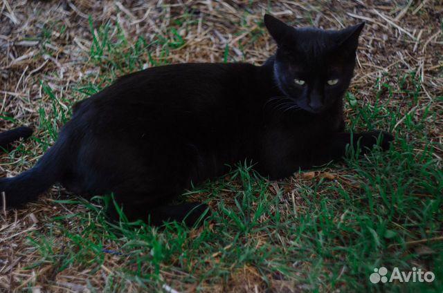 Шикарный черный кот  89815532729 купить 3