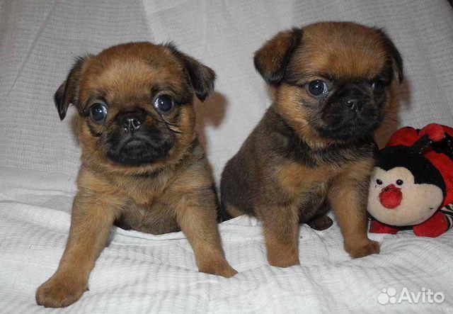 Чудесные щенки пти-брабансон ждут Вас купить на Зозу.ру - фотография № 1