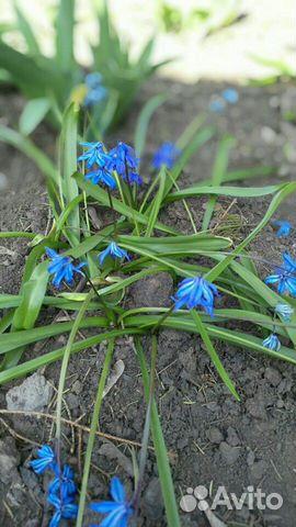 Ранние садовые многолетники 89806701171 купить 3