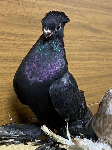 Узбекские голуби  89134552444 купить 6