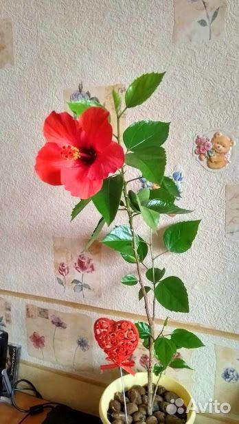 Гибискус (детки и взрослые растения)  89220007860 купить 5