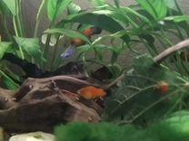 Аквариумные рыбки Пицилии собственного развидения