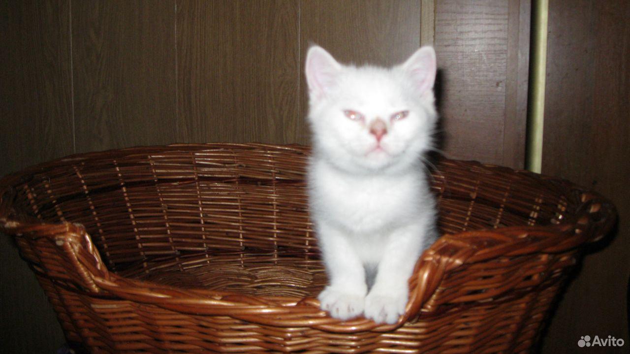 Шотл клубный шиншила кот, С прививками