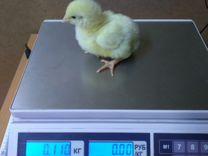 Цыплята бройлеры Чехия вывод 04.06.19