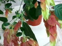 Белопероне укоренённые черенки — Растения в Екатеринбурге