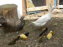 Утки мускусные (индоутки), голубой фаворит и