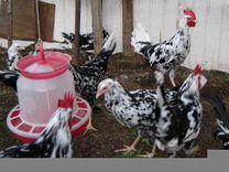 Инкуб/яйцо и цыплята Леггорн Пятнистый Далматинец