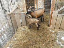 Продам чешских козлят и коз