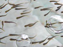 Продаю рыбопосадочный материал (личинку рыб)