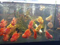 Аквариумные рыбки оптом