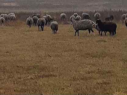 Овцы бараны ягнята оптом