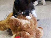 Котенок-девочка 1.5 мес. бесплатно