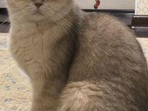 Котята Серебристые Шиншиллы