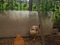 Продаю хороших породистых кур