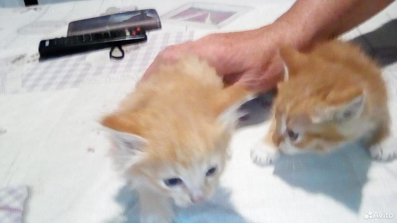 Котики Рыжики
